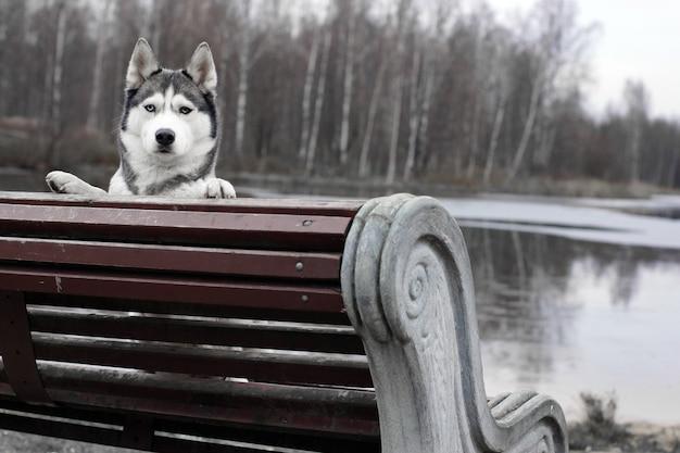 Cane di razza husky che dà una occhiata dalla panchina.
