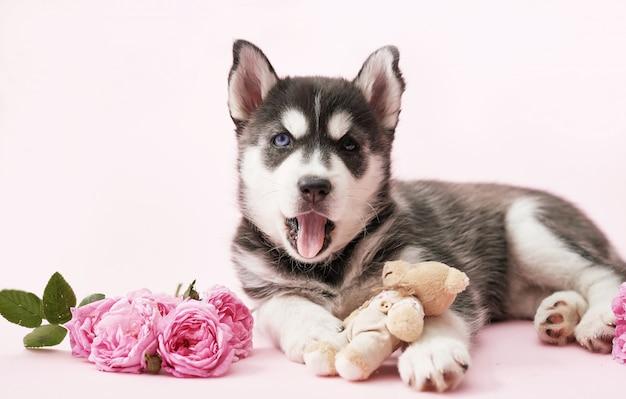 Cucciolo di cane husky e rose rosa tea. copia spazio. biglietto d'auguri