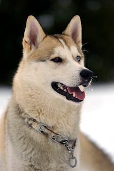 Cane husky per una passeggiata nel parco
