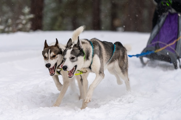 Cani husky che tirano la slitta con musher