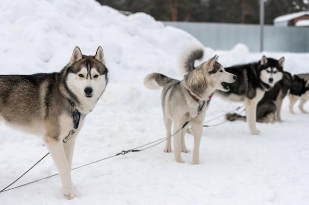 Cani husky sul cavo di allacciamento, in attesa di corsa di cani da slitta, sfondo invernale. alcuni animali domestici adulti prima della competizione sportiva.