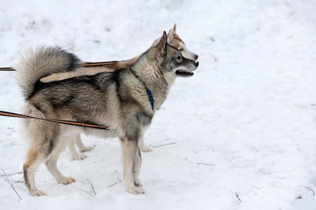 Cani husky sul cavo di allacciamento, in attesa di corsa di cani da slitta, sfondo invernale