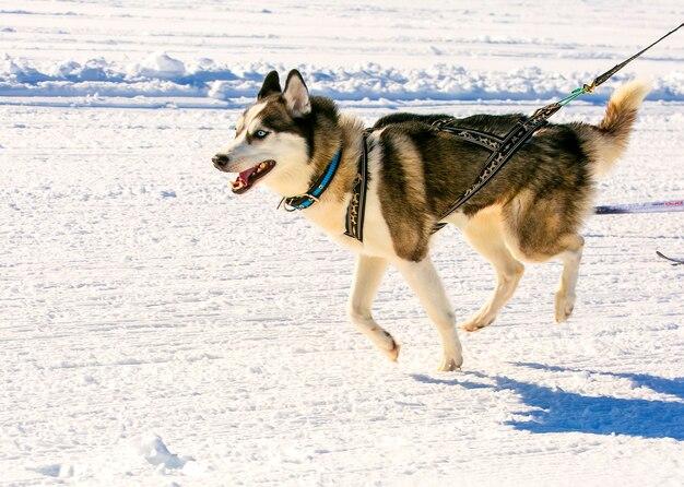 Husky in imbracatura alle competizioni skijoring in kamchatka.