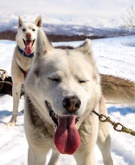 Husky in imbracatura che riposa sulla neve in kamchatka Foto Premium