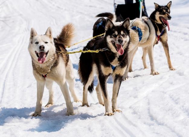 Husky in imbracatura che riposa sulla neve in kamchatka
