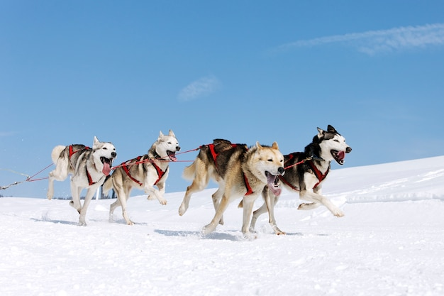 Corsa di husky in montagna alpina in inverno
