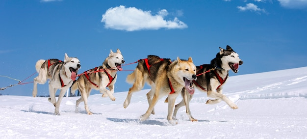 Corsa di husky sulla montagna alpina in inverno