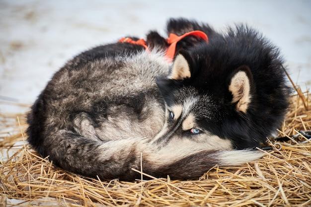 Il cane da slitta del husky si trova sul palo di paglia