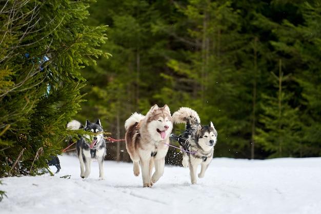 Husky sled dog mushing in inverno