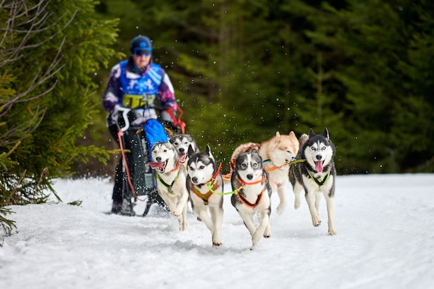 Corse di cani da slitta husky. concorso a squadre di slitte trainate da cani invernali