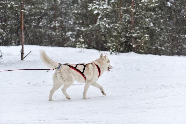 I cani da slitta husky corrono all'imbracatura e trainano il cane. campionato di sport invernali competition.ti