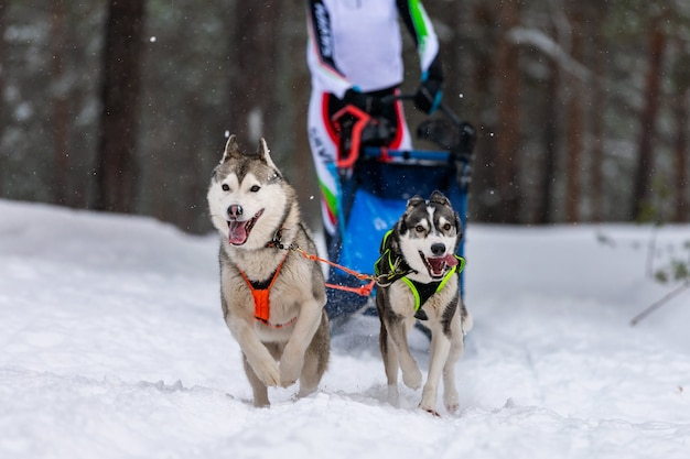 Squadra di cani da slitta husky in corsa imbracatura e tiratore di cani