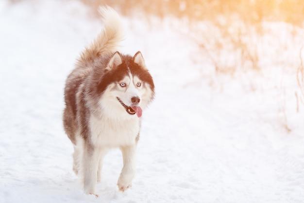 Husky nella foresta invernale con il bel tempo, la luce del sole