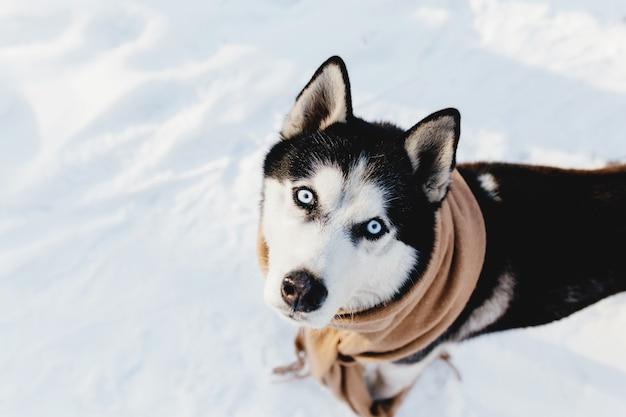 Husky avvolto in una sciarpa in un bosco innevato.