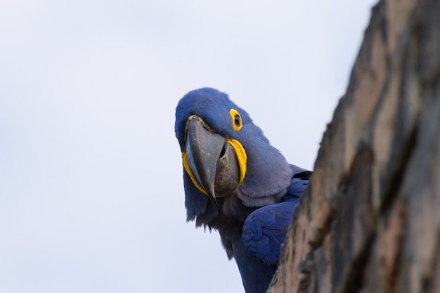 Ara giacinto vicino dal pantanal, brasile. fauna selvatica brasiliana. il pappagallo più grande del mondo. anodorhynchus hyacinthinus