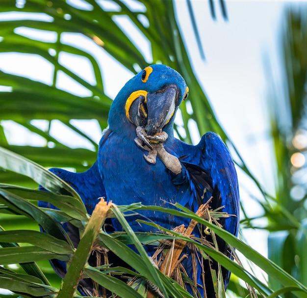 L'ara del giacinto sta sedendosi su una palma e sta mangiando le noci