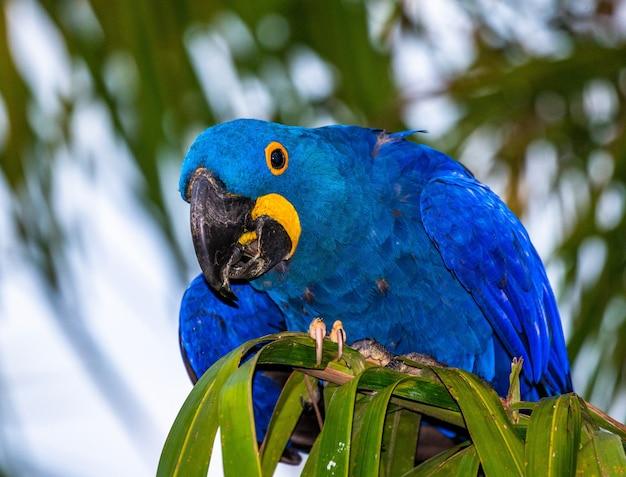 Giacinto macaw è seduto su una palma