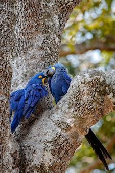 Ara giacinto su una palma nell'habitat naturale