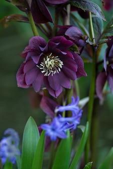L'elleboro ibrido o la rosa di natale fiorisce durante l'inverno e la primavera.
