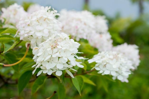 Hydrangea arborescens annabelle palline bianche fiori estivi. fiore in giardino. fiorire in una giornata di sole
