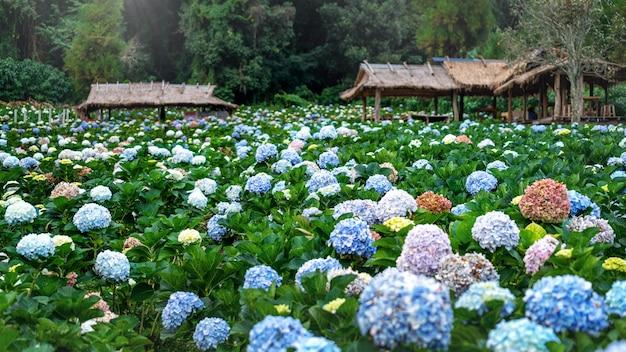 Campo di fiori di ortensie a chiang mai, thailandia