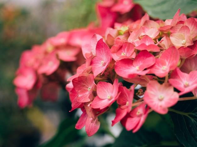 Il fiore dell'ortensia è rosso in primo piano. fioritura, petali, messa a fuoco selettiva