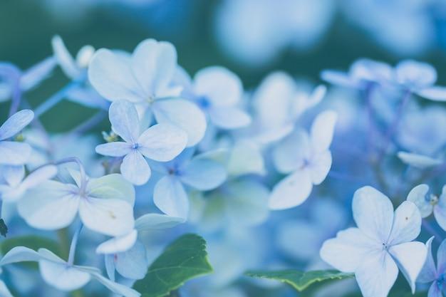 Fiore di ortensie