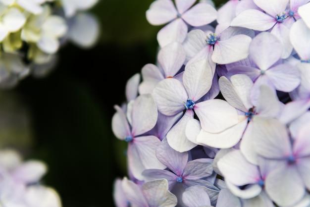 Fiori di ortensia in giardino
