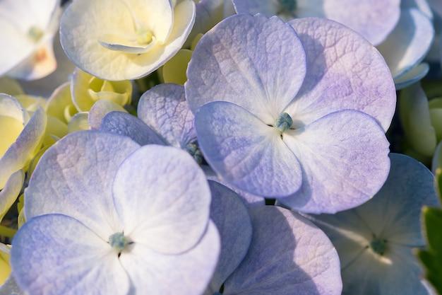 Ortensia viola in natura in fiore