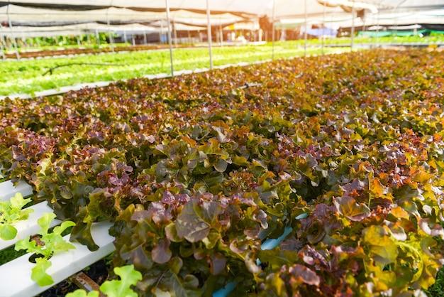 Lattuga idroponica che cresce in giardino fattoria idroponica insalata di lattuga biologica quercia rossa