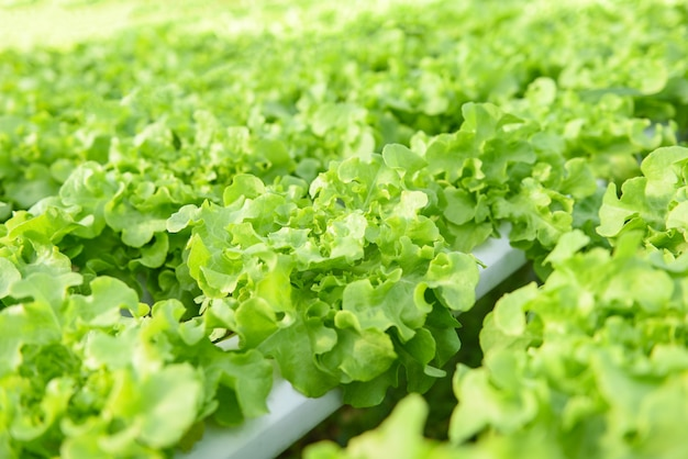 Lattuga idroponica che cresce in insalata di lattuga fattoria idroponica da giardino biologica