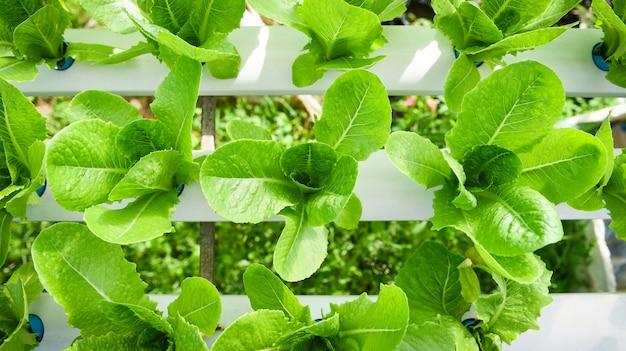 Lattuga idroponica che cresce in insalata di lattuga fattoria idroponica giardino biologico