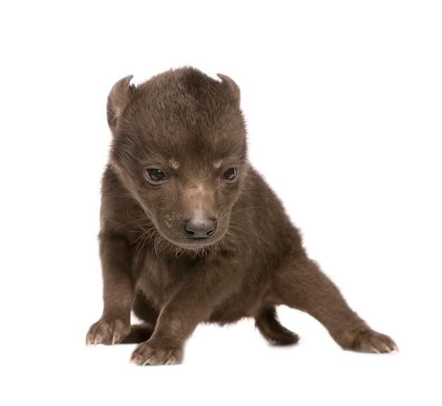 Cucciolo di iena su un bianco isolato
