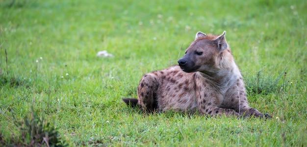 La iena è sdraiata sull'erba della savana in kenya