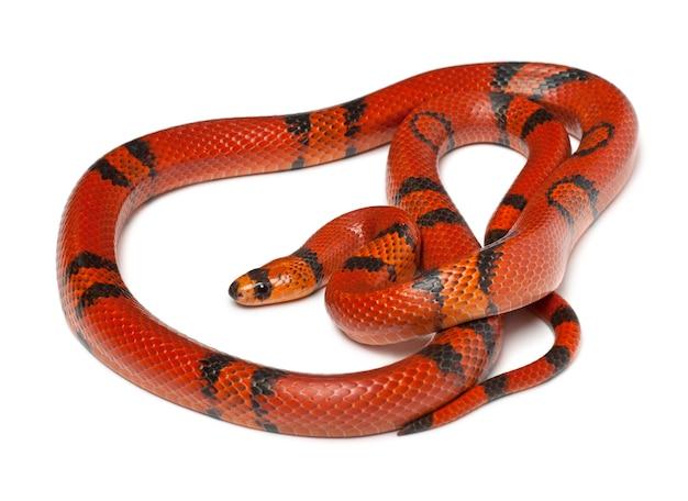 Hypomelanistique serpente del latte honduregno lampropeltis triangulum hondurensis isolato