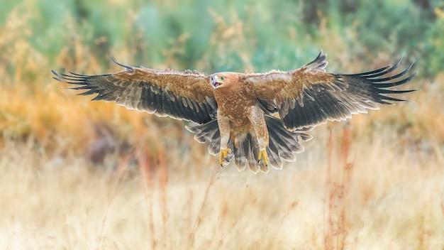 Aquila imperiale iberica, aquila adalberti