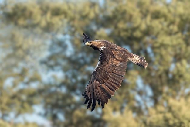 Aquila imperiale iberica in volo