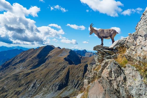 Stambecco su roccia in montagna