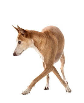 Ibizan hound isolato