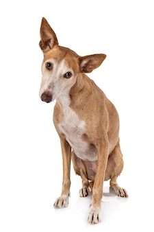 Ibizan hound in studio