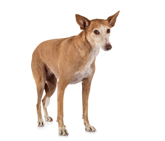 Ibizan hound in studio
