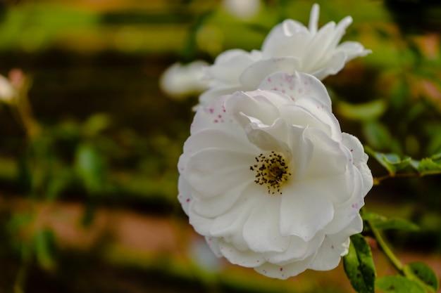 Varietà iceberg di rose bianche nevose ornamentali coltivate nel roseto di palermo a buenos aires. piante ornamentali