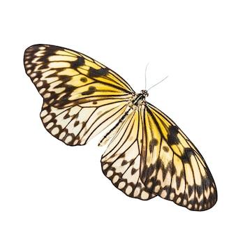 Idea leuconoe farfalla isolata su sfondo bianco
