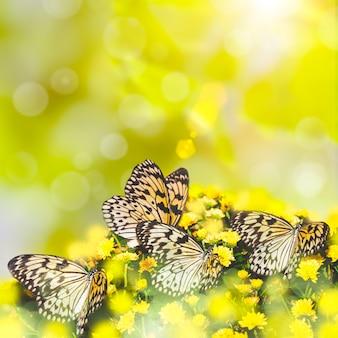 Idea leuconoe farfalla sul .crisantemo giallo