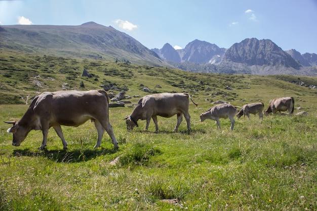 Paesaggio idilliaco con il gregge della mucca che pasce sul campo verde con erba fresca sotto il cielo pacifico blu in pirenei. concetto di natura.