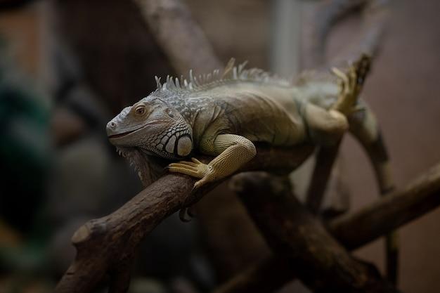 Iguana su un ramo