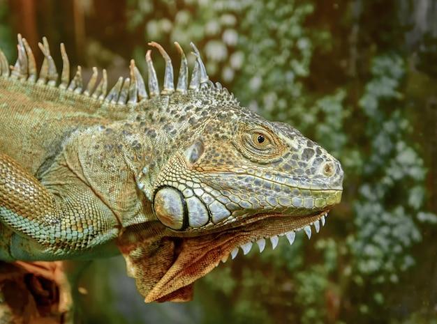 Iguana primo piano