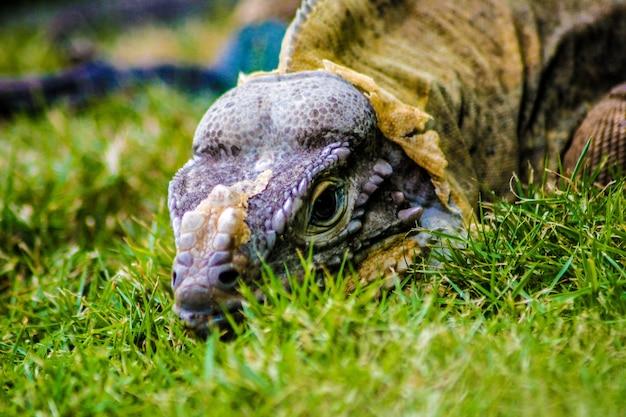 Iguana appollaiata nell'erba verde in repubblica dominicana