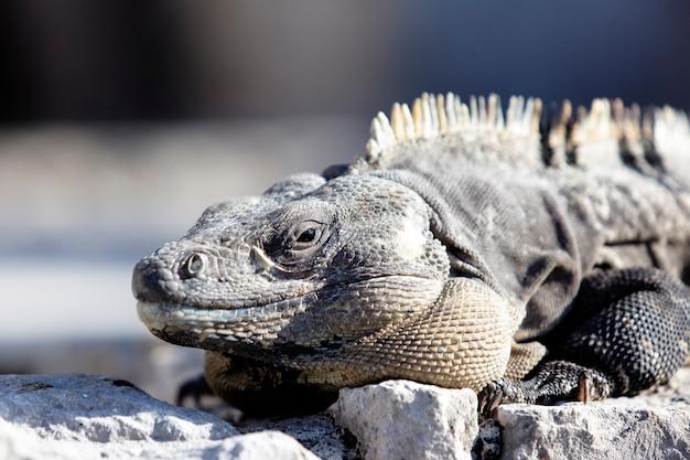 Ritratto di iguana sulla roccia sotto il sole