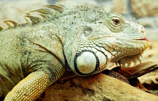 Iguana sparata a distanza ravvicinata